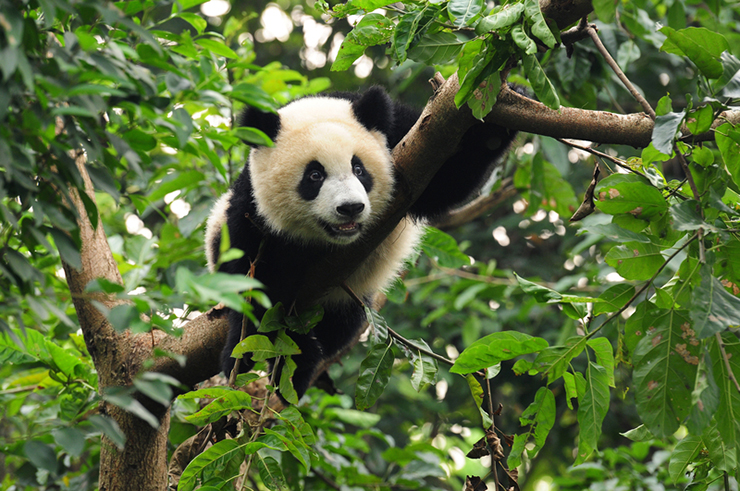 A giant panda on a tree branch in China