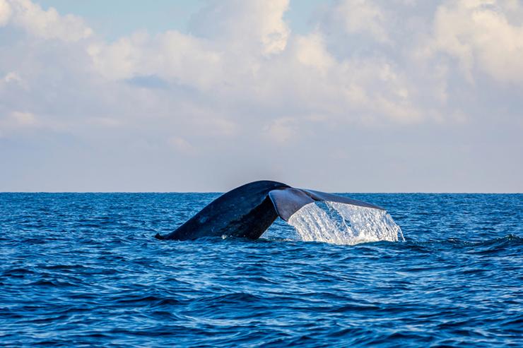 Blue Whale off the coast of Sri Lanka
