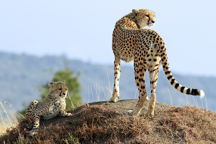 Cheetah and cub in the Masai Mara, one of the best places to see big cats in the wild