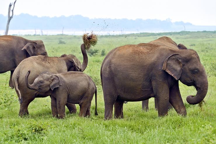 Elephant herd in Sri Lanka