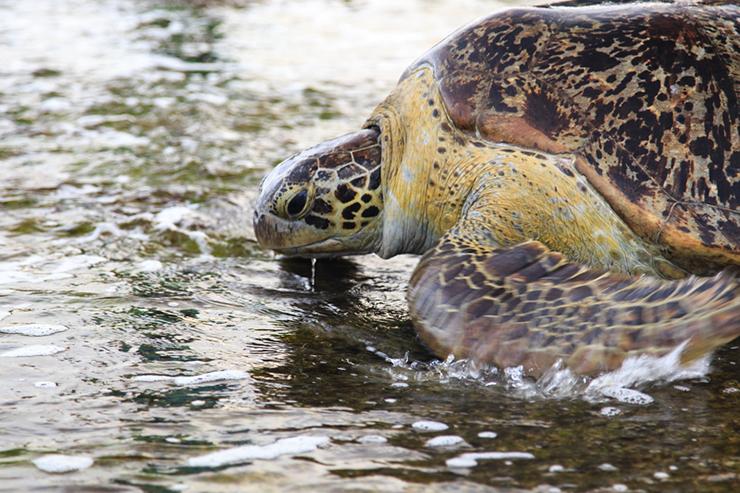 Green sea turtle in Tangalle in Sri Lanka