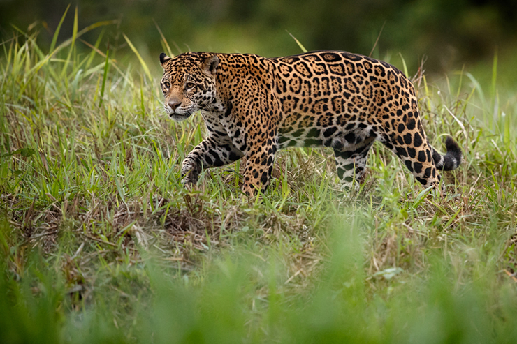 Jaguar in the Brazilian Pantanal
