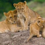 The Best Places to See Big Cats in the Wild