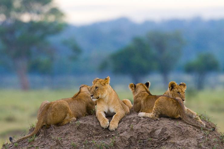 Lions in the Serengeti National Park, Tanzania
