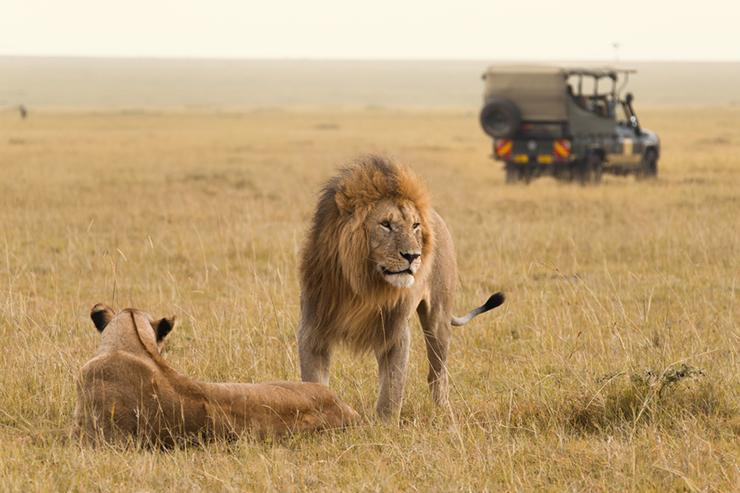 Safari truck and lions