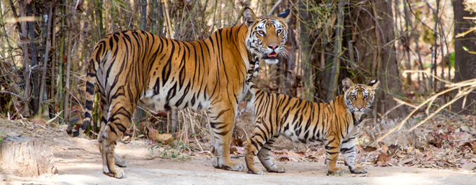New Anti-Poaching Vans to Help Tigers in India