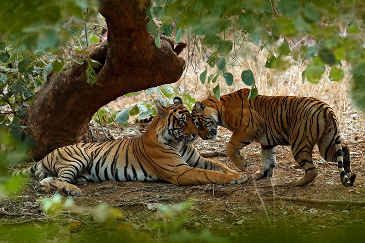 Two tigers in Ranthambore National park, India