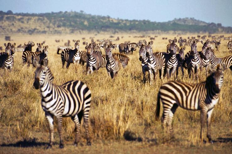 Herd of zebras in the Serengeti