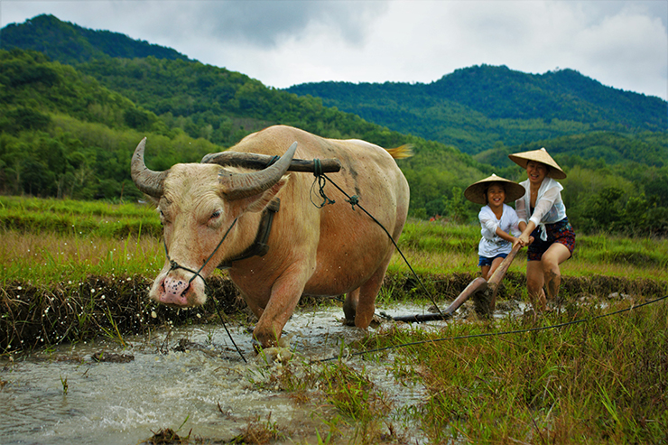 Visitors ploughing a paddy with a water buffalo at the Living Land Farm