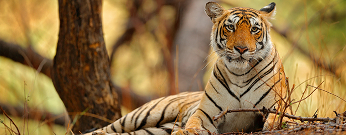 How We're Supporting Tiger Conservation in India