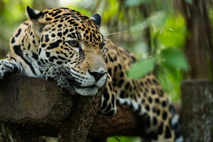 Jaguar resting on a log in jungle