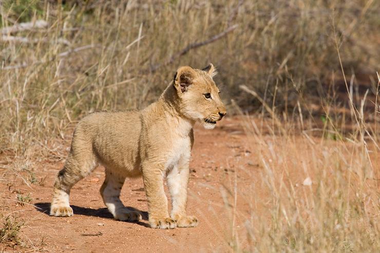 Lion cub in Africa