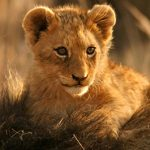 Where to See the Lion King Characters in the Wild