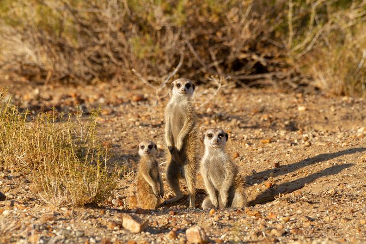 Meerkats in Etosha National Park, Namibia