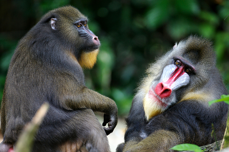 Two mandrills in the jungle