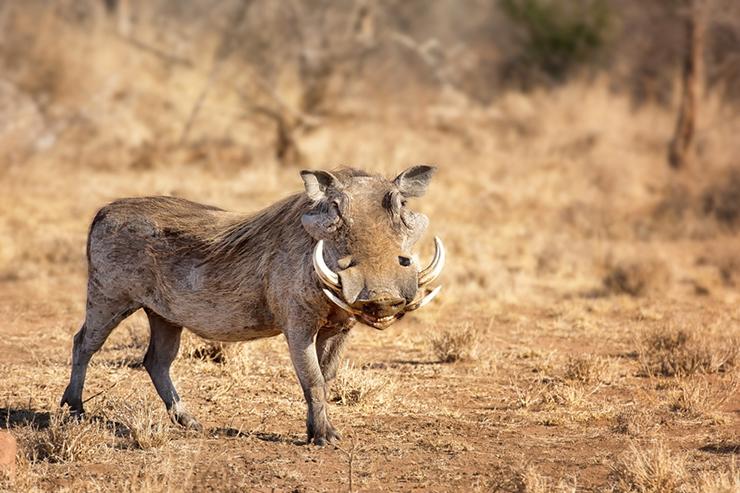 Warthog in its natural habitat, Africa