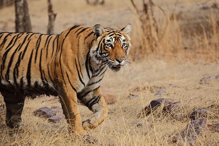 Tiger, Ranthambore