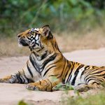 Helping tigers through tourism – our visit to India