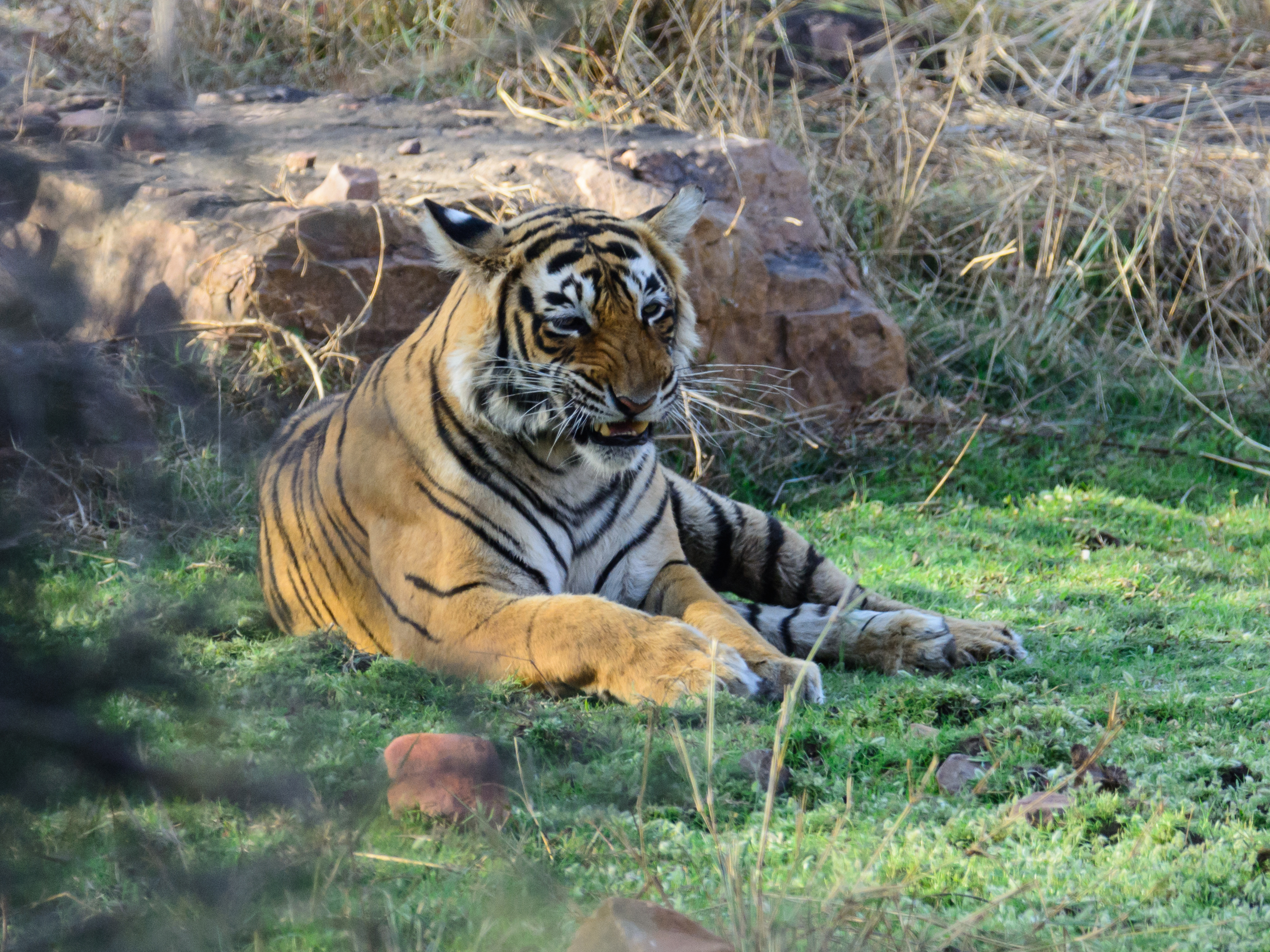 A graceful Bengar Tiger takes a moments pause