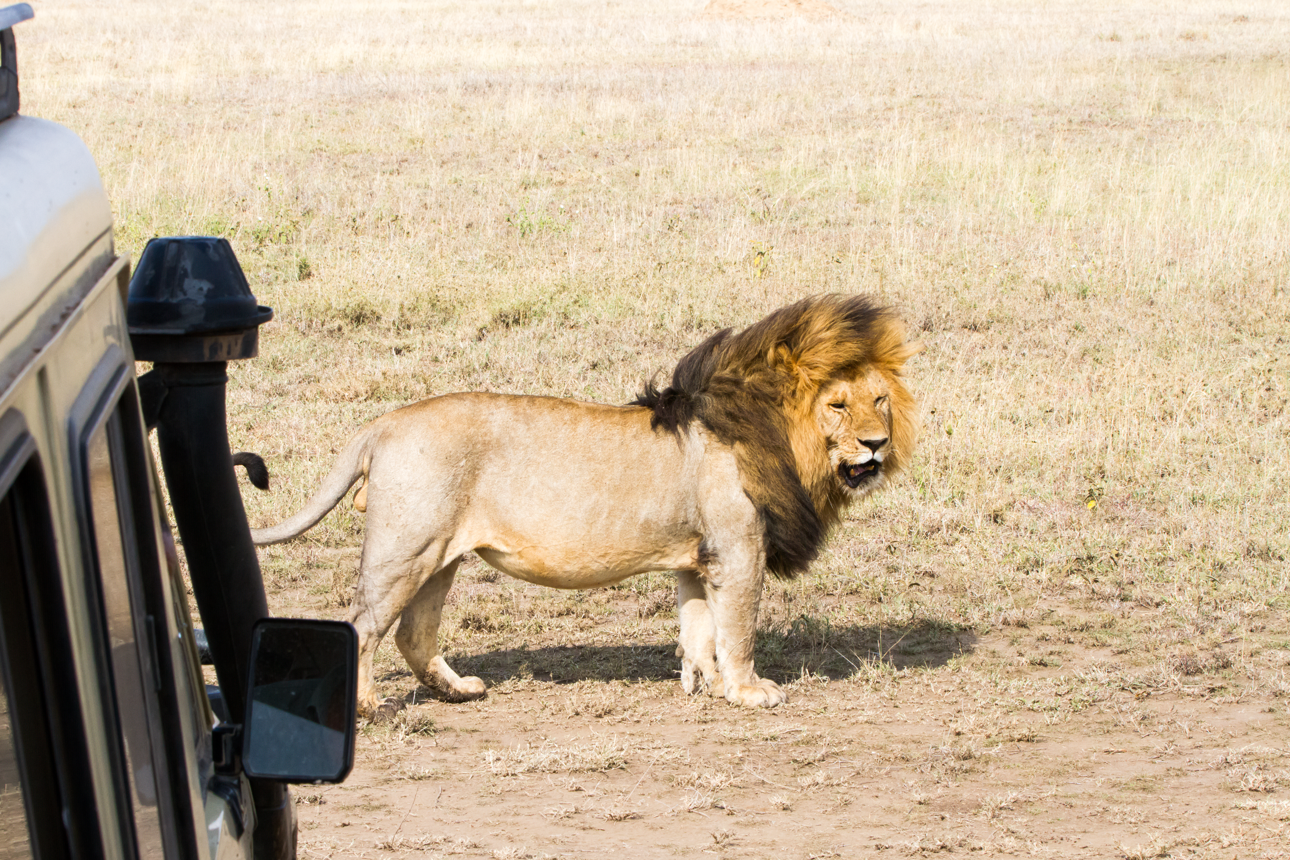 A stunning male lion is sighted on safari