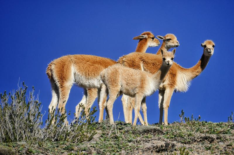 A small group of vicunas notice our gaze