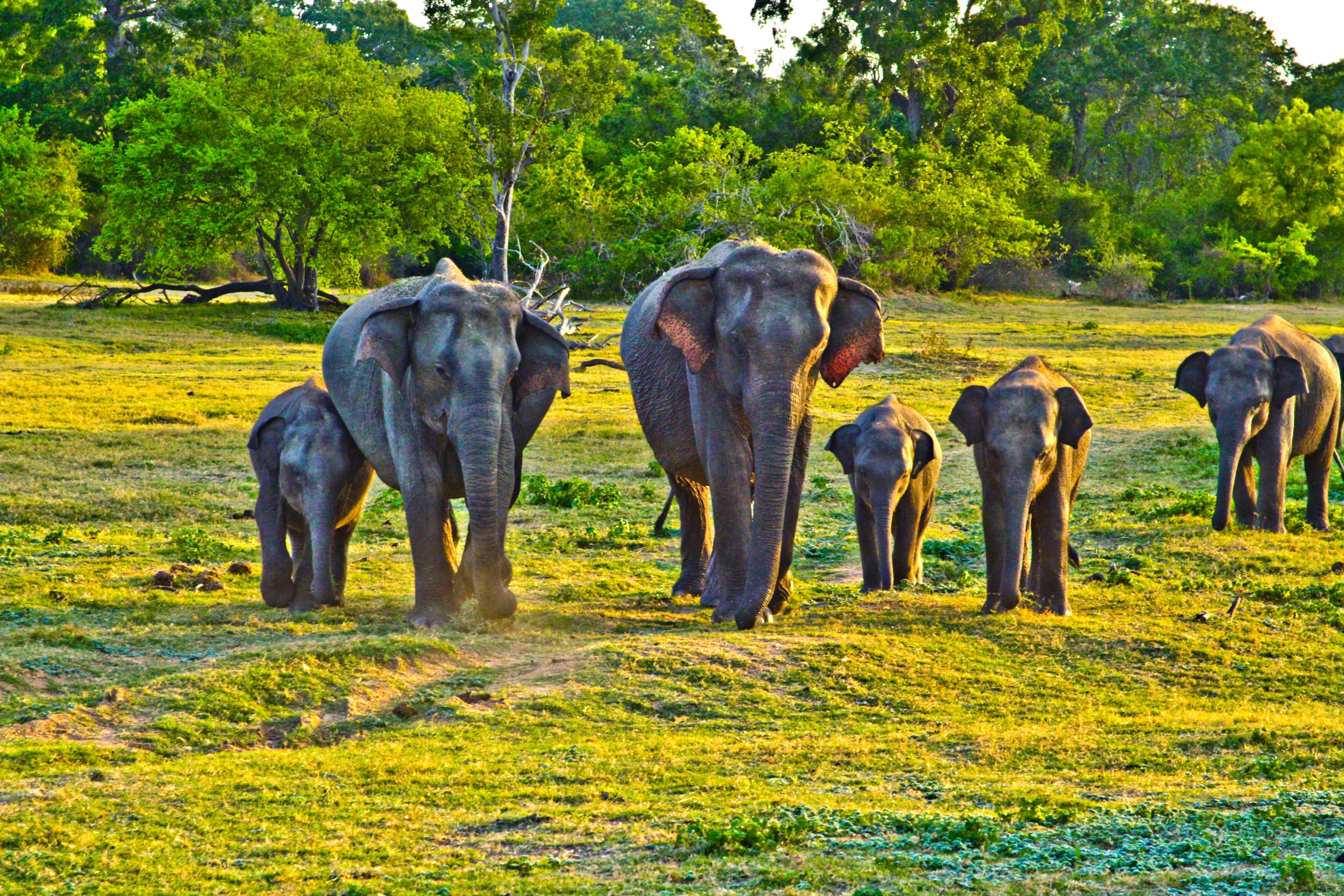 Sri Lankan elephants in late afternoon