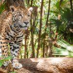 Good News Alert: Jaguar Numbers Increase in Iguazu National Park (7 minute read)