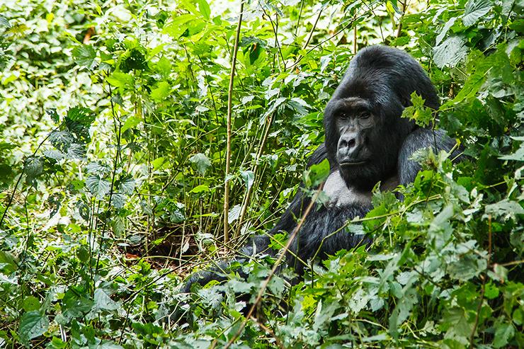 Gorilla in the jungle of Uganda