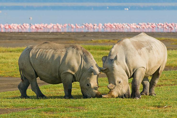 Rhinos at Lake Nakuru, Kenya
