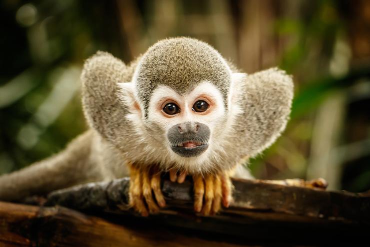 Squirrel Monkey, Amazon Rainforest - best places to visit in Peru