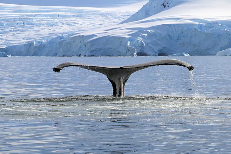 Humpback whale - conservation success stories