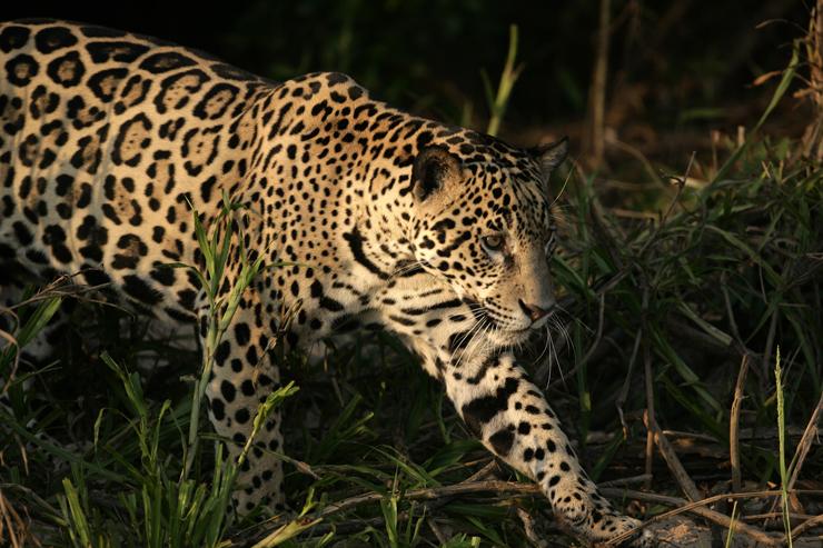Jaguar, Argentina - conservation success stories