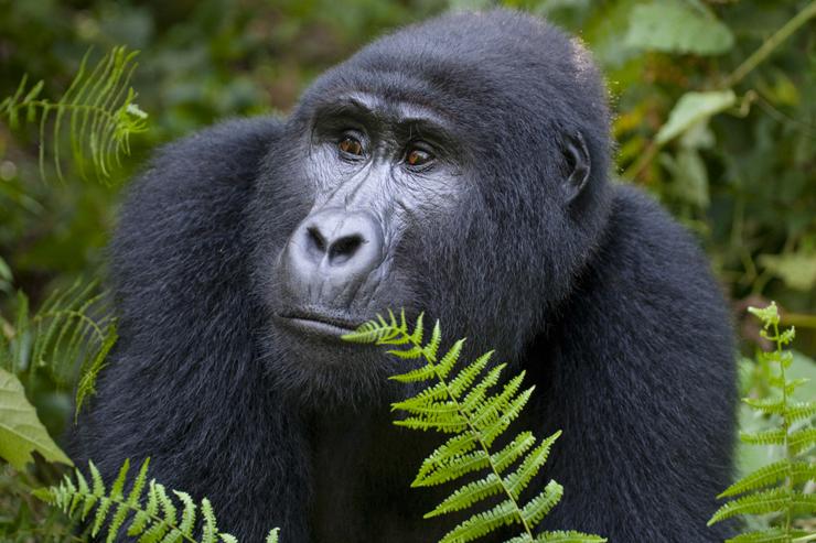 Mountain gorilla, Uganda - conservation success stories