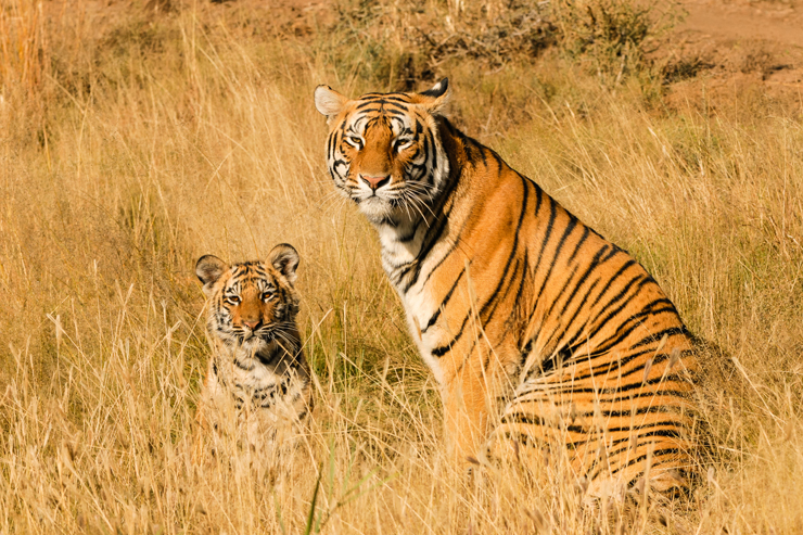 Tiger, India - conservation success stories
