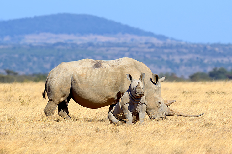 White rhino and calf, Kenya - conservation success stories