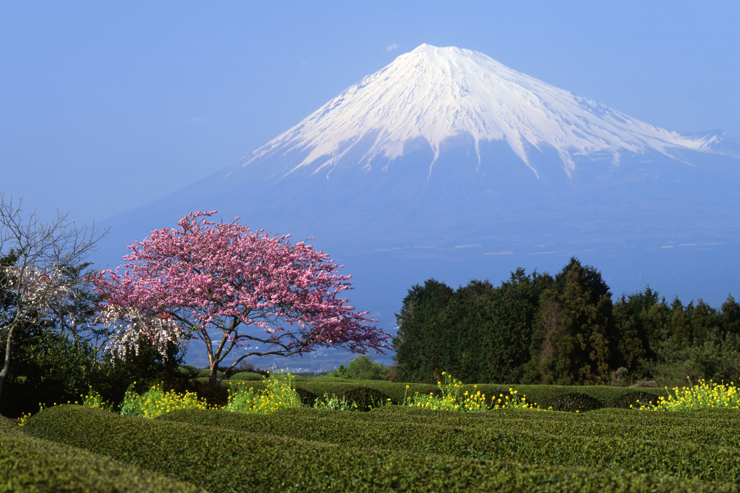 Mt Fuji - Japanese cherry blossom
