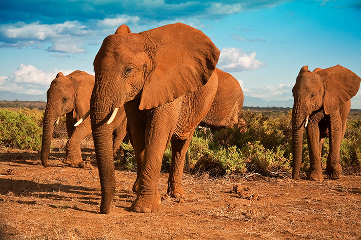 Elephants are one of the members of the New Big Five