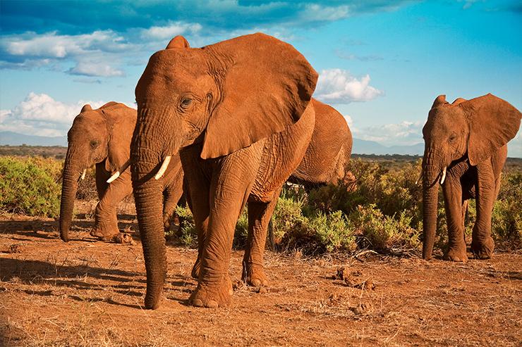 Những chú voi là một trong những thành viên của New Big Five