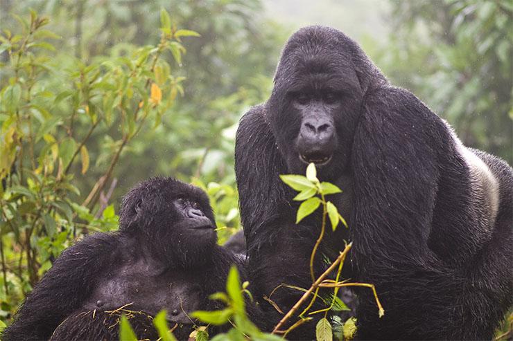Khỉ đột núi trong rừng rậm của Uganda