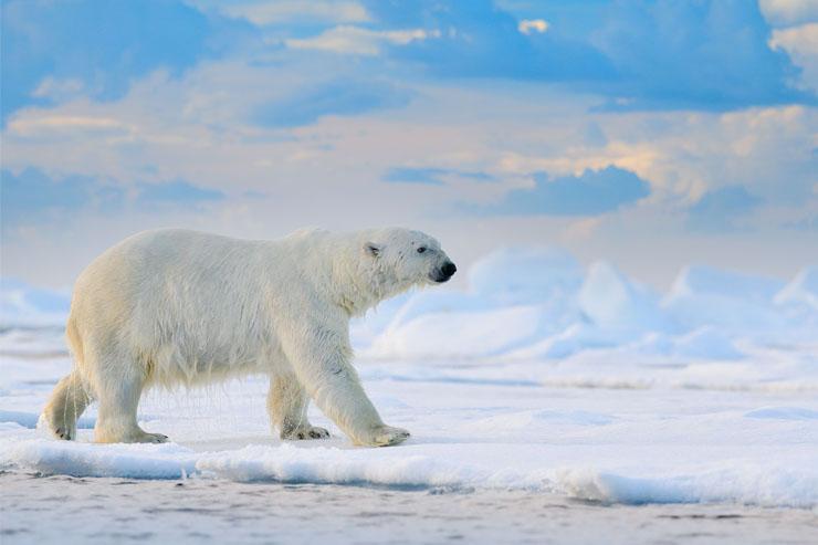 Gấu bắc cực ở Svalbard, Na Uy