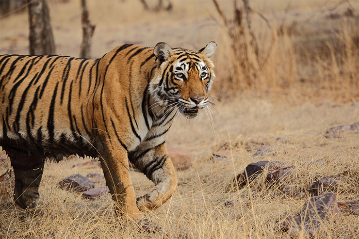 Tigers certainly belong in the New Big Five