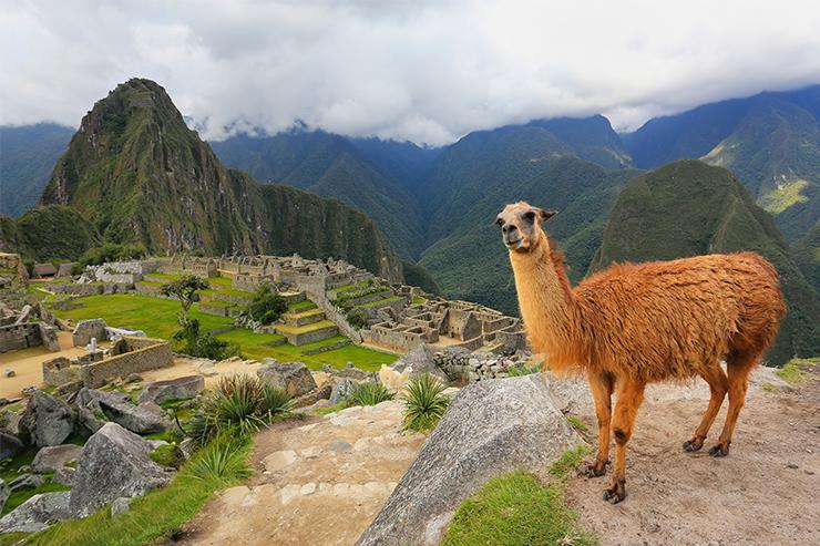 Alpaca tại Machu Picchu, Peru