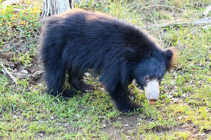 Một con gấu lười ở Wilpattu, một trong những công viên quốc gia tốt nhất của Sri Lanka
