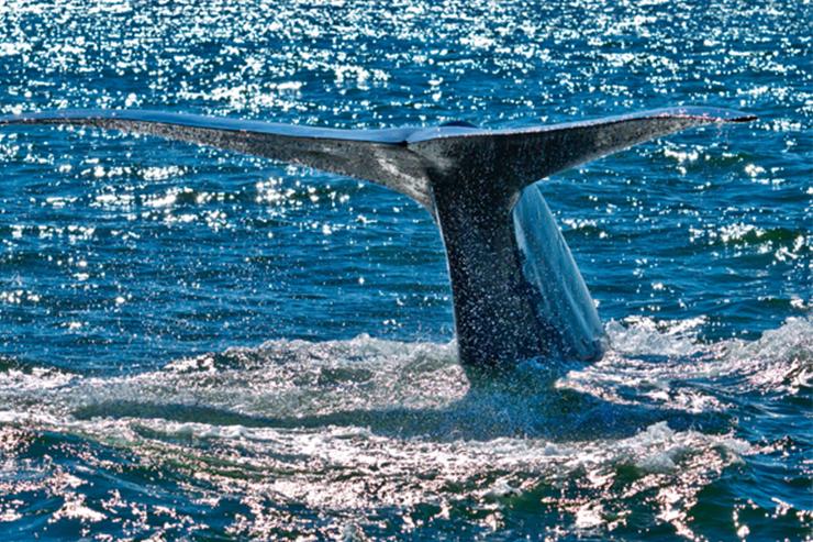 Blue whale off the coast of Mirissa