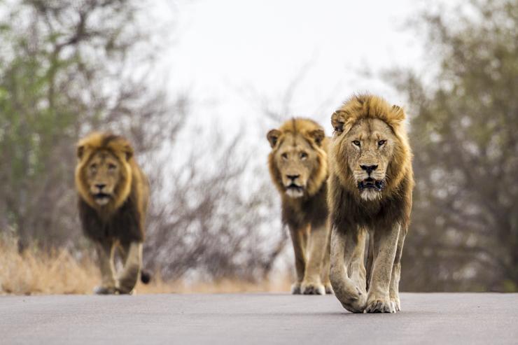 Những chú sư tử ở Vườn quốc gia Kruger, đã đến thăm trong chuyến du lịch Châu Phi đến Nam Phi