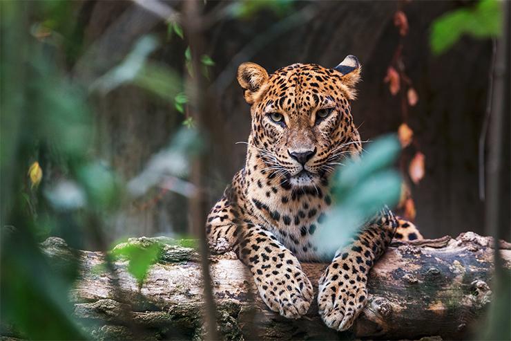 A Sri Lankan leopard in Yala National Park