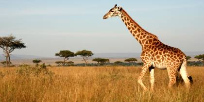 A giraffe walking through the Masai Mara in Kenya