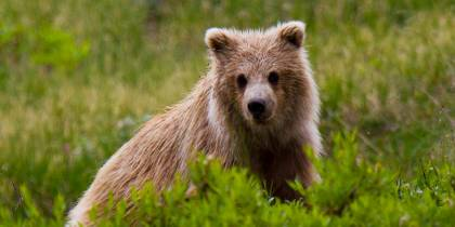 A grizzly bear cub in Denali National Park - Alaska - North America Tours - On The Go Tours