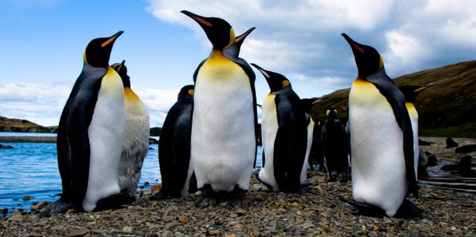 A group of King Penguins in the Falkland Islands | Antarctica
