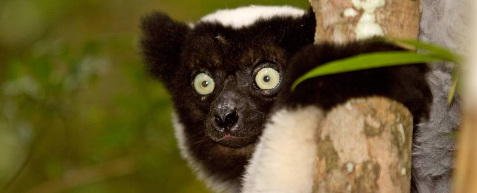 A wide-eyed indri clinging to a tree in the Akanin'ny Nofy Reserve